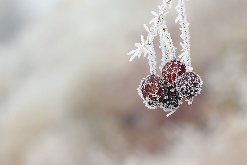 Cold Temperature Winter Frozen Ice Snow Focus On Foreground Close-up No People Nature Frost Food And Drink Selective Focus Berry Fruit