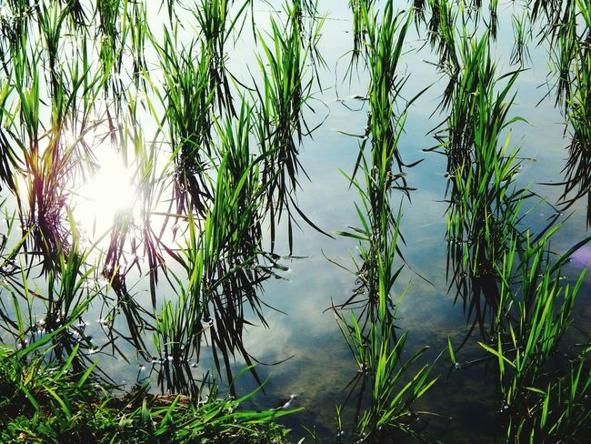 Paddy fields... Nature Water Reflection Outdoors No People Green Color Plant Growth Sun Roadtrip Lost Places Warm Light Farm The Great Outdoors - 2017 EyeEm Awards