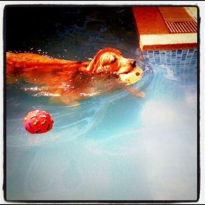 นักตะกร้อนำ้ Goldenretriever Petstagram Dogstagram Picpets Hoykong Ifuckinglovemydog Instagramgoldens Dogspool Retriever Dog