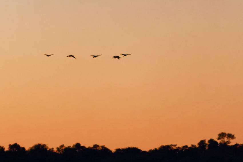 Geese in flight across african sunset sky Geese In Flight Sunset Sunset Sky Namibia Caprivi Okovango Okovango River Cubango River Orange Sky EyeEm Selects Bird Flying Tree Sunset Togetherness Silhouette Sky Animal Themes Flock Of Birds Avian Geese Romantic Sky Spread Wings Dramatic Sky
