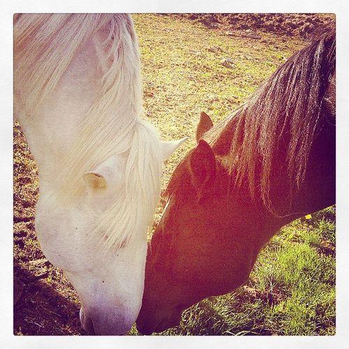 PicturePerfect Percherons Greatshot Love mybabies countrygirlscansurvive cantgetenough