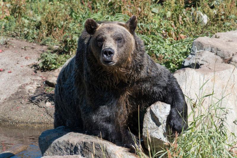 Animal Wildlife Mammal No People Nature Portrait Animal Themes One Animal Outdoors Bear Black Bear Bears Brown Bear Bears🐻 Vancouver Canada gAnimals Animal Grouse Mountain British Columbia BC, Canada Scenics