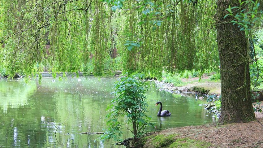 Black Swan Nature Photography Wildpark Schwarze Berge Animal Photography Beautiful Nature Reflections The Calmness Within Beautiful View Swan