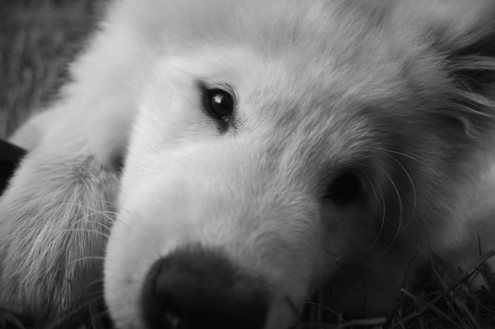 One Animal Animal Themes Pets Domestic Animals Dog Animal Head  Close-up White Alertness Looking Mammal Snout Whiskers No People Dog Doglover Canonphotography Canon Day Monochrome Photography