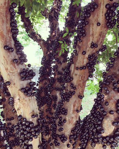 Tree Trunk Tree Close-up Nature Outdoors No People Day Beauty In Nature Fruits TropicalFruit Jabuticaba