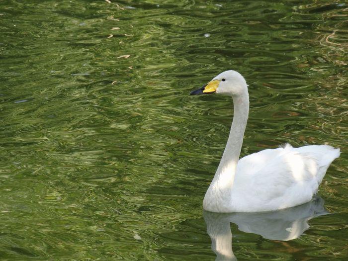 White Swan, Birds Park, Tehran
