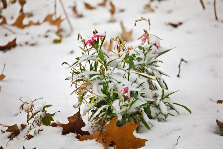 Flowering plant on snow covered field
