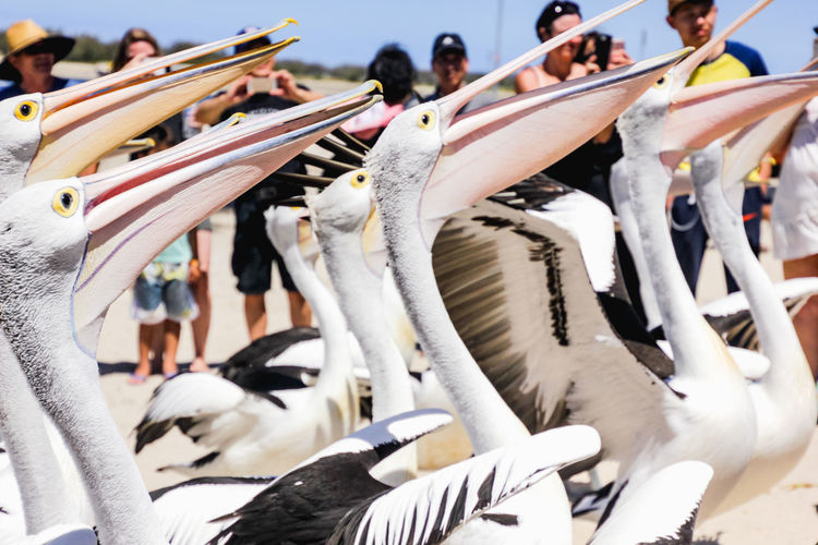 close up of pelicans at a local beach waiting for a regular feed by a local fish market Animal Group Of Animals Animal Themes Vertebrate Animal Wildlife Large Group Of Animals Bird Animals In The Wild Day Group Of People Sunlight Nature Close-up Outdoors White Color Flock Of Birds Focus On Foreground Crowd Incidental People Pelican Pelicans