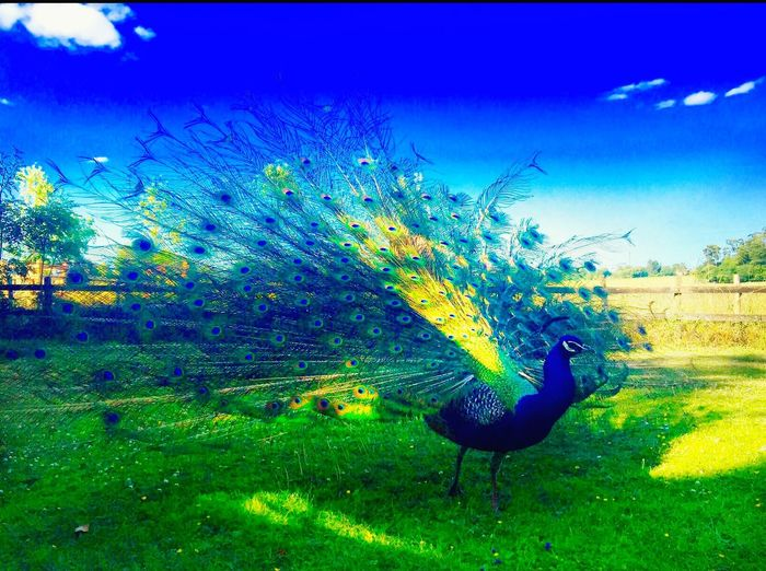 Peacock #beautiful #feathers#iphonephotography #eye4photography Bird Pretty