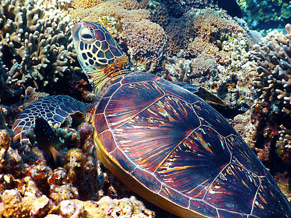 Full Frame Pattern No People Close-up Backgrounds Outdoors Day Nature Sea Life Sea Turtle Sea Turtle Swimming Sea Turtles Ocean Ocean View SCUBA Scuba Diving Scubadiving Scubalife Okinawa OKINAWA, JAPAN Oki Okinawa Love Nature_perfection Nature Photography Nature_collection