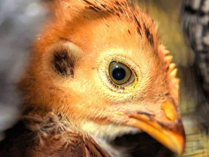 baby brown chic Eye Animal Body Part One Animal Bird Close-up Animal Eye Beak Headshot No People Looking At Camera