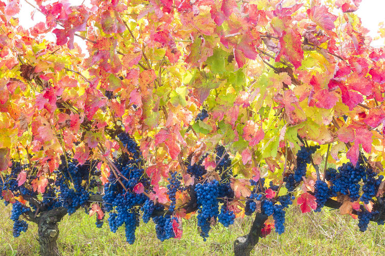 Aglianico del Vulture grapes mature late autumn giving warm fantastic colors Autumn Backgrounds Beauty In Nature Close-up Day Full Frame Grass Holiday Multi Colored Nature No People Outdoors Tree Vineyard Volor Winter