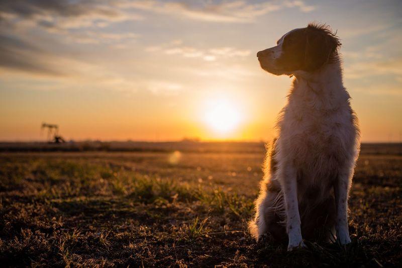 Spaniel Brittany Sunrise Sky Pets Field Dog Canine