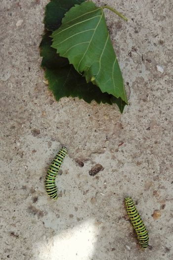 Critters Catterpillar Catterpillars Catterpilar Caterpillar Caterpillars  Showcase: June Wolfzuachis Edited By @wolfzuachis On Market Wolfzuachiv Huaweiphotography Showcase: 2017 Veronica Ionita @WOLFZUACHiV Eyeem Market Ionita Veronica Showcase: July Colorful Nature Leaves EyeEm Selects