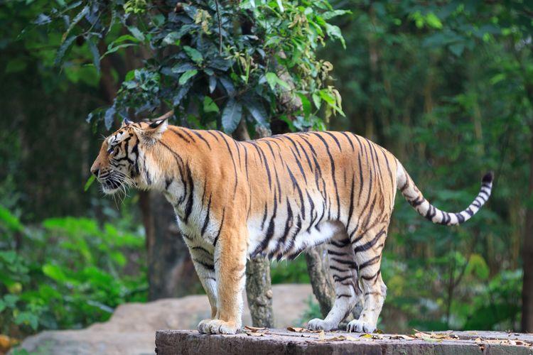 EyeEm Selects Animal Animal Themes Big Cat Tiger One Animal Mammal Animal Wildlife Animals In The Wild Vertebrate Feline Cat Carnivora No People Nature Tree Zoo Endangered Species Focus On Foreground Animals In Captivity Profile View