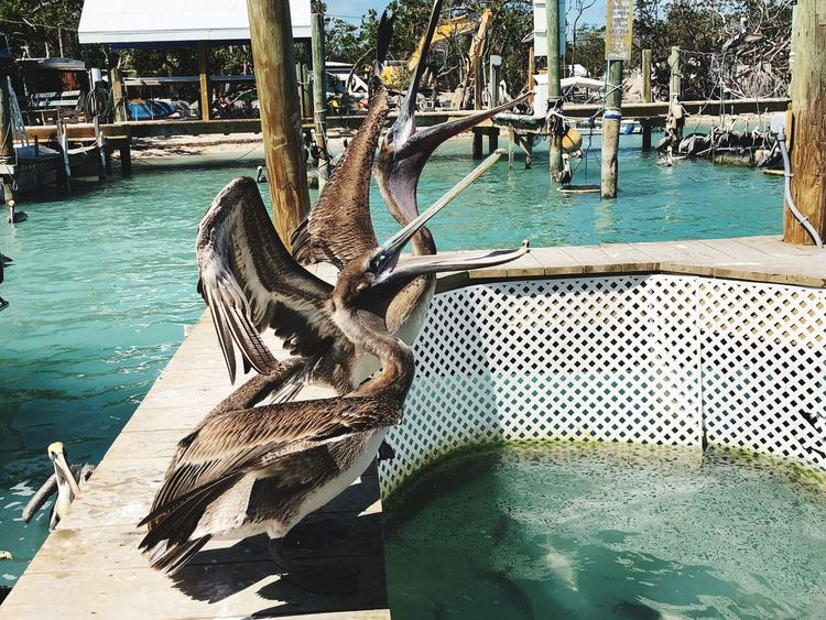 Fish Fish Eater Hungry Pelican Birds Pelicans Pelican Water Wood - Material Nautical Vessel Day No People Outdoors Sea Nature Beauty In Nature