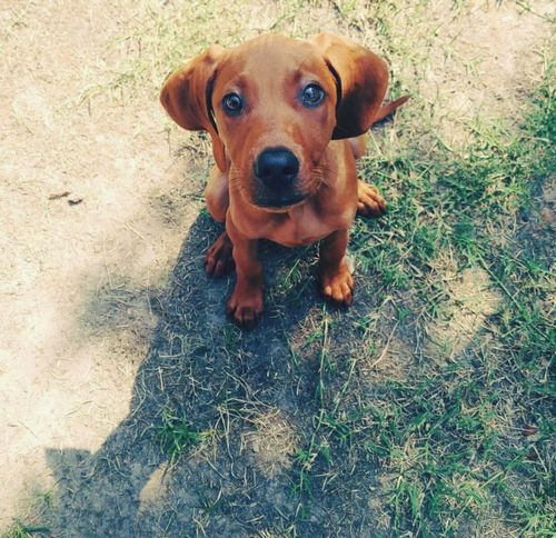 Pet Portraits Pets Dog Love Sleeping Dog Virginia Beach Animal Themes Day Outdoors Redbone Coonhound Puppy Love Puppy One Animal