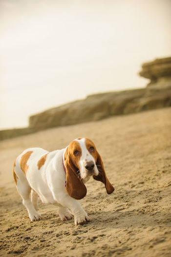 Close-Up Of Basset Hound Dog Standing On Beach