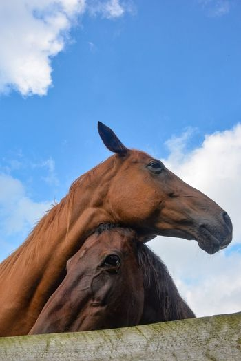One Animal Animal Themes Mammal Sky Domestic Animals Cloud - Sky Day Animal Head  Outdoors No People Livestock Nature Close-up Horse