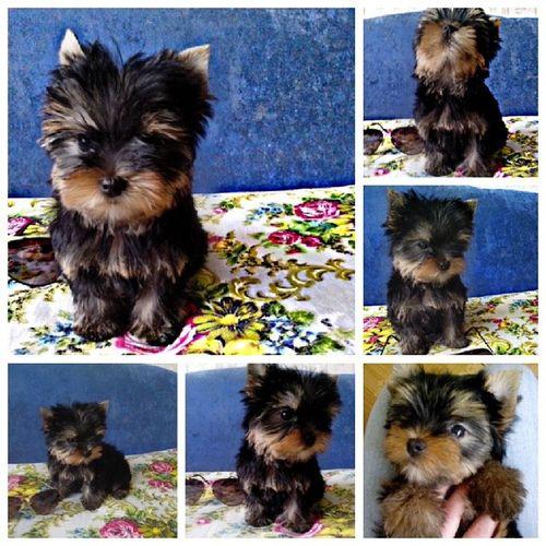 Йорк щенок собачка люблюсобак CACWizarDDog´S Люблю своих собачек:-)