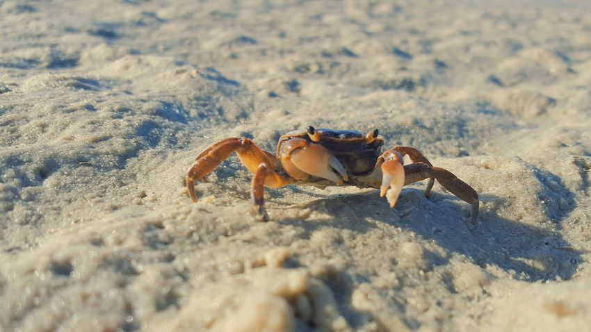 Nature's Diversities Nature Crab Eyem Nature Photography Sea Seascape Seaside Animals Beach Beachphotography Beach Photography Nature_collection Sand Sea_collection Sea Life The Great Outdoors - 2016 EyeEm Awards The Great Outdoors With Adobe Essence Of Summer