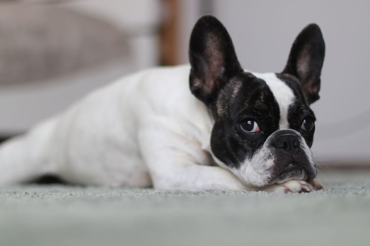 80d Bulli Bully Canon 80D Canon Eos 80d Canonphotography Cute Dog  Dog Lying On Floor Dog Portrait Dog Waiting Dogs Of EyeEm Eos 80d Französische Bulldogge  French Bulldog Frenchbulldog Frenchie Grumpy Dog Grumpy Face Grumpydog Hundeportrait Indoors  Lying Down Sad Dog Sad Dog Eyes Sweet Dog