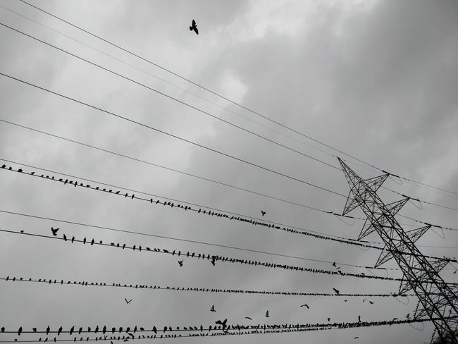 Animal Animal Themes Animal Wildlife Animals In The Wild Bird Cable Cloud - Sky Connection Day Electricity  Flock Of Birds Flying Group Of Animals Low Angle View Nature No People Outdoors Power Line  Power Supply Sky Technology Telephone Line Vertebrate