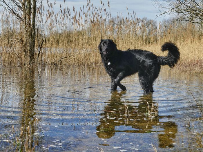 Black dog in a lake