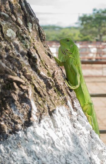 Iguana Perro Iguana Animal Nature Naturaleza Natural Animal Themes Animal Animal Wildlife One Animal Reptile Animals In The Wild No People Nature Vertebrate Selective Focus Plant Day Green Color Outdoors Textured