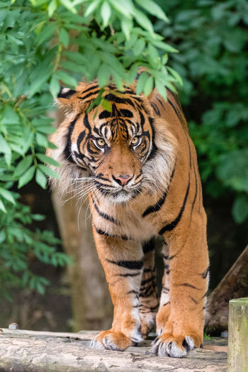 Close-Up Portrait Of Tiger Standing On Retaining Wall At Zoo