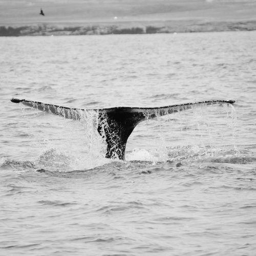 Iceland Whale Watching Beautiful Nature Nature Blackandwhite Photography