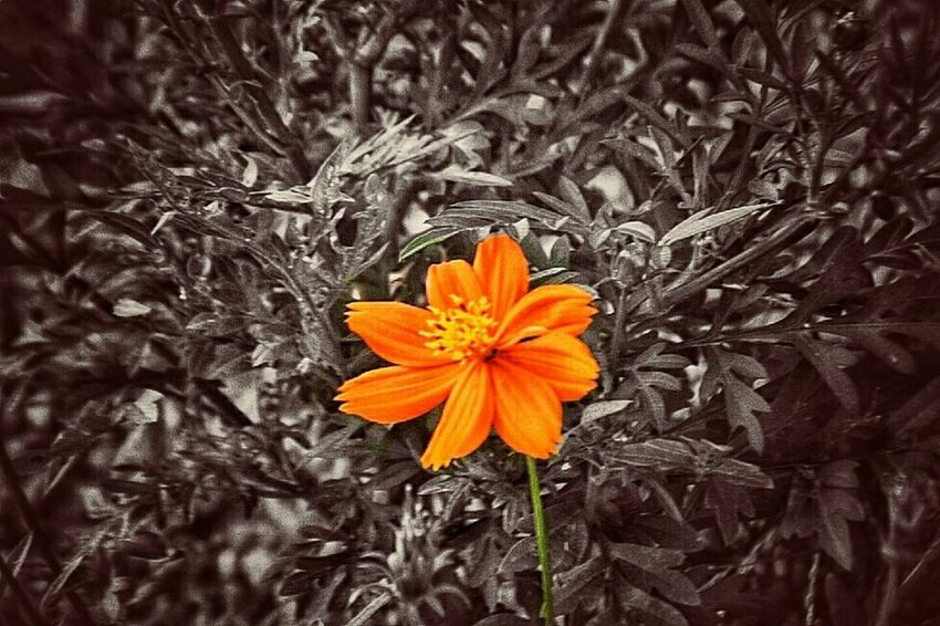 Flower Orange Color Flower Head Petal Nature Beauty In Nature Fragility Freshness Growth Plant Poppy No People Outdoors Close-up Blooming