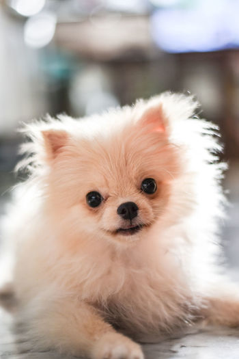 Light brown Pomeranian puppy looking to camera in marble floor room in bokeh background Domestic Mammal Pets Domestic Animals One Animal Animal Themes Animal Dog Canine Vertebrate Looking At Camera Portrait Pomeranian Cute Focus On Foreground Small Indoors  No People Close-up Animal Head  Pomeranian Puppy Doggy Adorable Happy Bokeh Looking Light And Shadow Brown Fluffy Blurred Background