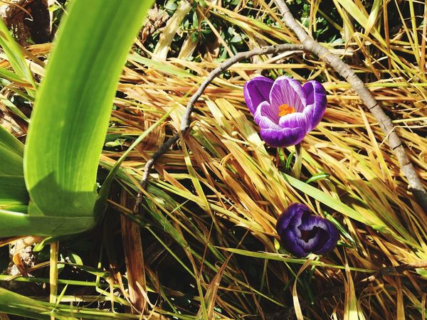 Spring is Coming!! 🦋🌷🌸🌺 Flower Growth Nature Beauty In Nature Freshness Plant Petal Fragility Field Green Color Blooming Purple Outdoors Flower Head Grass No People Day Close-up