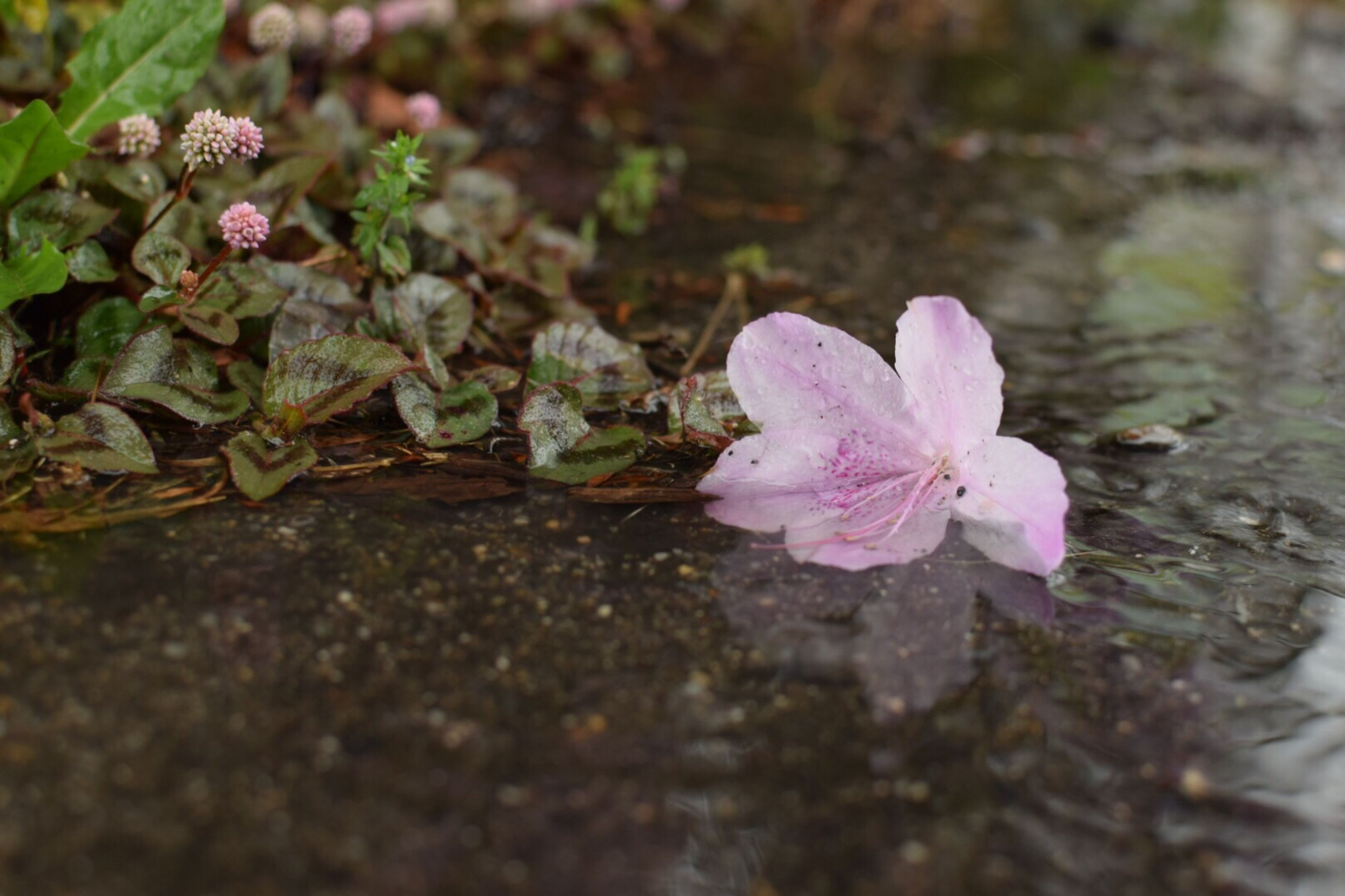 flower, petal, fragility, freshness, flower head, growth, beauty in nature, nature, pink color, blooming, close-up, plant, focus on foreground, selective focus, in bloom, leaf, single flower, high angle view, outdoors, day