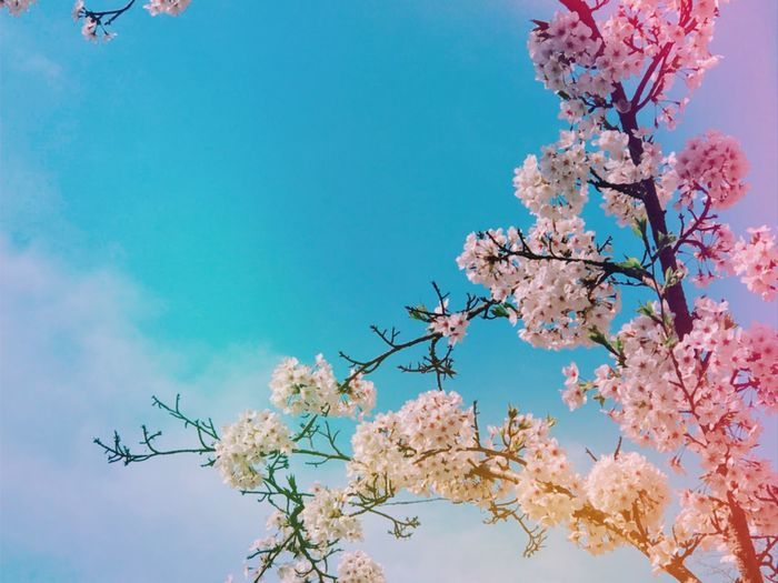 cherryblossom Alex Park EyeEm Nature Lover EyeEm Rainbow Cherryblossom Flowering Plant Flower Sky Plant Tree Low Angle View Fragility Beauty In Nature Blossom Springtime Blue Pink Color Clear Sky EyeEmNewHere