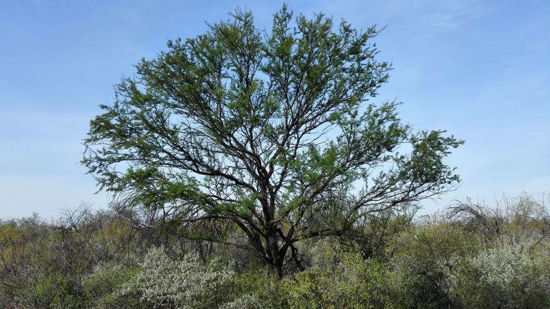Arboles Arboles , Naturaleza Beauty In Nature Coahuila Coahuila, México Day Growth Huizache Lush - Description Nature No People Outdoors Sky Social Issues Tree árbol