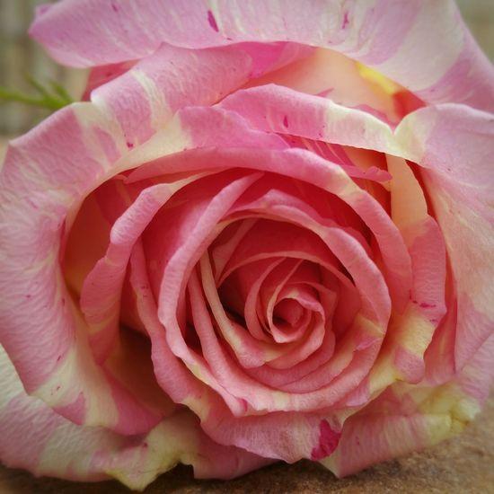 Red Rose 🌹