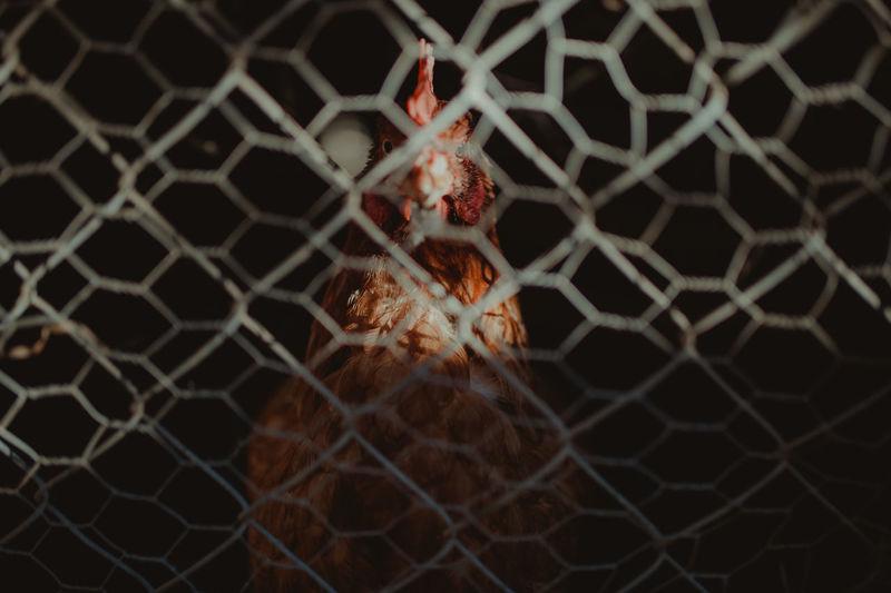 Bio Chicken Chickens Farm Farm Life Farm Animals Farmland Red Animal Themes Bird Chicken - Bird Close-up Domestic Animals Eggs Nature No People