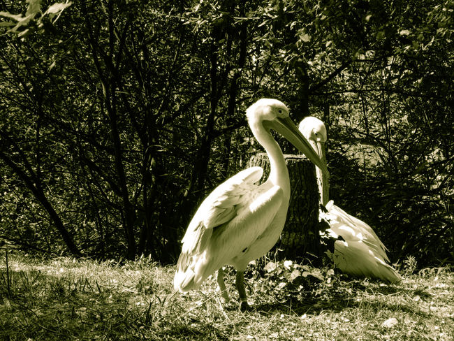 Animal Themes Tree Animal Wildlife Animal Animals In The Wild Bird Vertebrate Land Nature No People Day Forest Outdoors Pelican Pelicans Pelican Birds Nature Wildlife