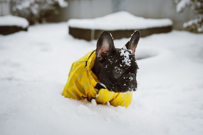 Pet Pet Portrait Frenchie Frenchbulldog Yellow Pets Friendship Snow Cold Temperature Dog Portrait Winter Puppy Pet Clothing Purebred Dog Bulldog French Bulldog Pampered Pets Canine