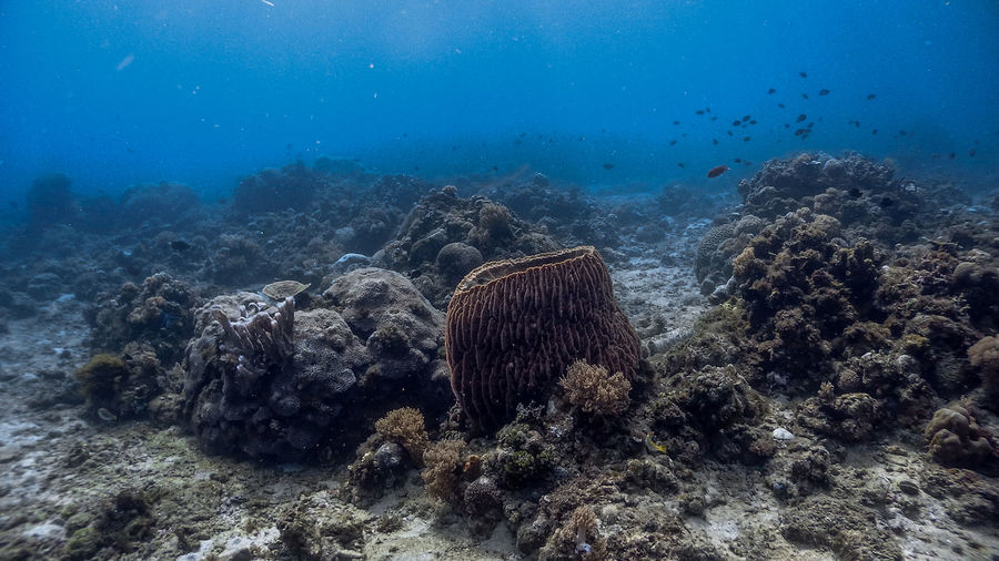 Barrel sponge coral and pufferfish at pagkilatan