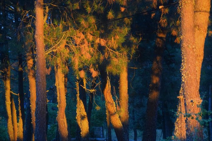 Green Color Sunlight Pine Tree Sunset Trunk Tree