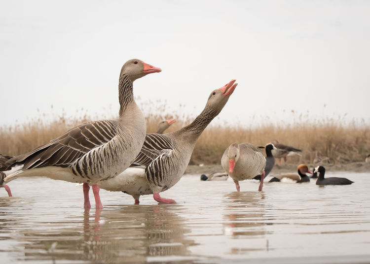 Wildlife Animal Themes Animal Wildlife Animals In The Wild Beauty In Nature Bird Canada Goose Day Geese Goose Gosling Greylag Goose Lake Nature No People Outdoors Water Waterfront