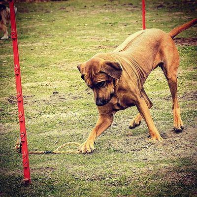 Hund Rhodesianridgeback Rhodesian Ulrickepust Hundeschule Spaß Testbild