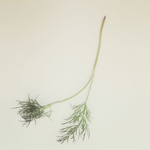 Close-up of plant over white background