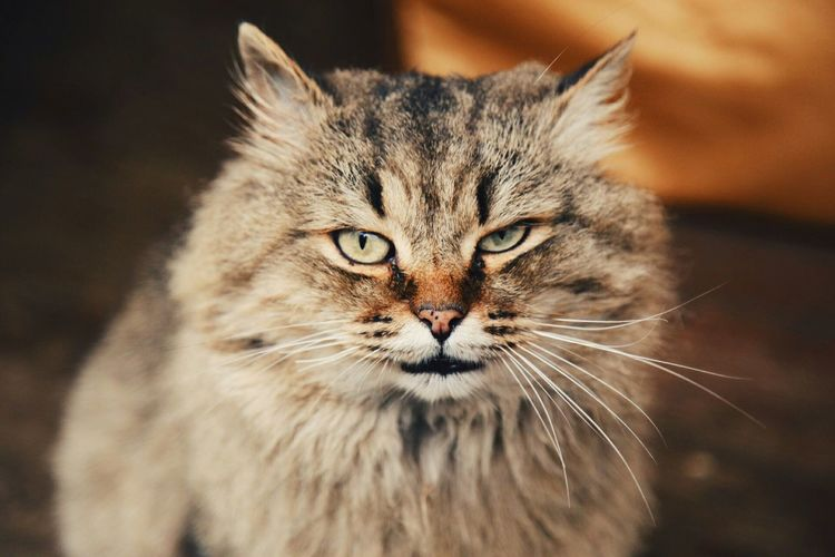 Uglich Cat
