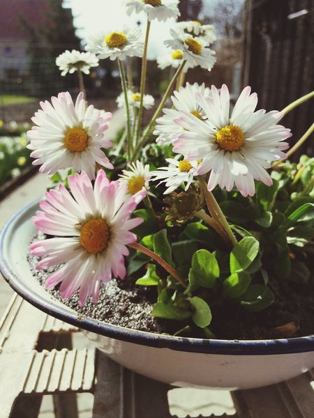 Daisy Spring Spring Flowers Flowers