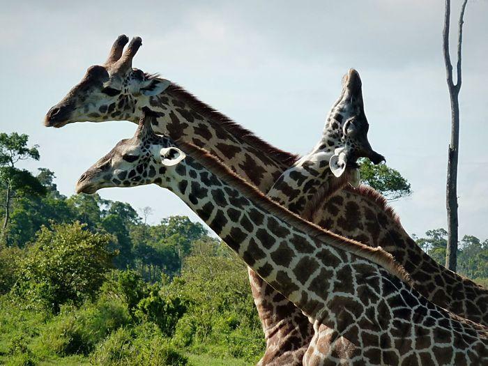 Necking giraffes Tierverhalten Animal Behaviour Wildlife & Nature Wilderness Initiation Ranking Rangelei Rangfolge Kenia Kenya Masai Mara National Reserve Giraffenbullen Necking Giraffes Giraffes Day Low Angle View Animal Themes Spotted One Animal Animals In The Wild Animal Wildlife Mammal