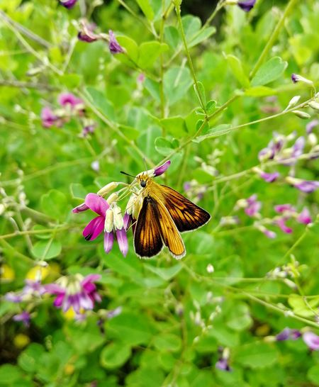Skipper butterfly (толстоголовка, шкипер) Nature Skipper Butterfly Lepidoptera Summer Lespedeza Flower Perching Full Length Spread Wings Butterfly - Insect Insect Leaf Animal Themes Close-up Plant Pollination Moth Butterfly